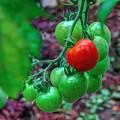 Photos: 家庭菜園 ミニトマト(2)