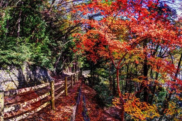 井川湖畔 井川湖畔遊歩道(廃線小路) 紅葉(4)