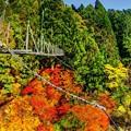 Photos: 井川 夢の吊橋 紅葉