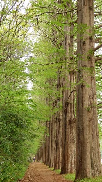 メタセコイヤ並木(縦)