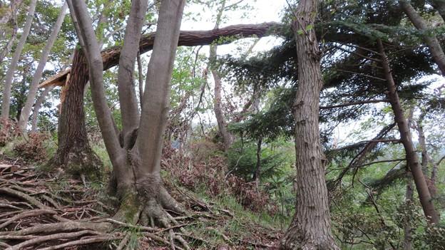 見城山の倒木