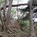 Photos: 見城山の倒木
