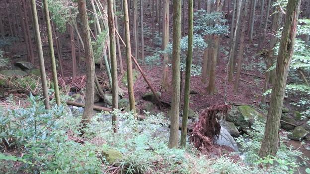 玉川の倒木