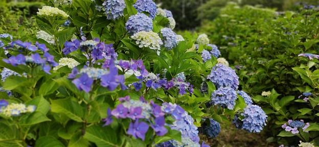 相模原公園の紫陽花(スマホ撮影)