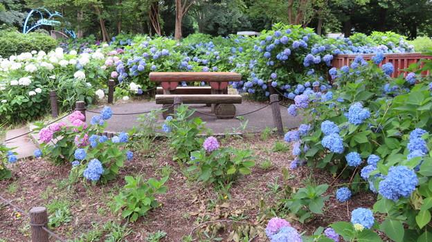 紫陽花に囲まれたベンチ