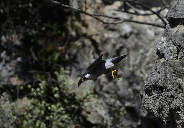 鳥の中で最速の野鳥