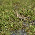 Photos: ムナグロの幼鳥