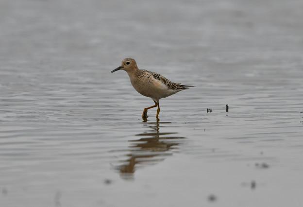 迷鳥 コモンシギ幼鳥