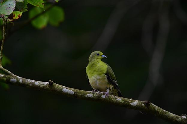 アオバト雌の幼鳥