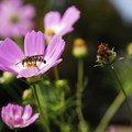 Photos: 蜂も納得秋桜花