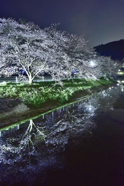 奈良桜 1