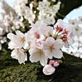 Photos: 幹直咲き