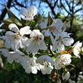 Photos: 暖地桜桃