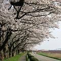 写真: 堤防並木桜