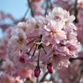 写真: 綺麗ピンク