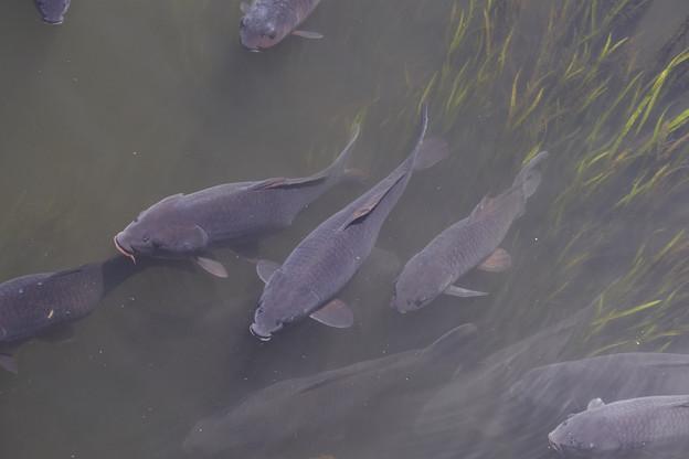 落合川の鯉