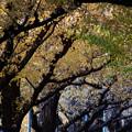 いちょう並木