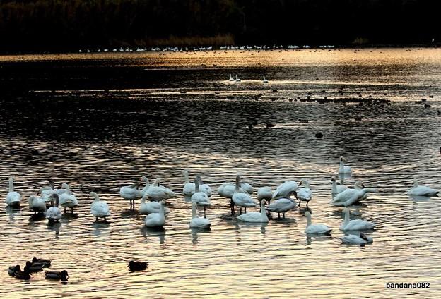 今朝の白鳥池