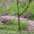 畑の中に雉の卵