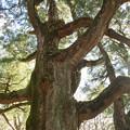 筑波山 紫峰杉
