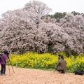 Photos: 吉高の大桜