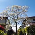 Photos: 緑道のハナミズキ