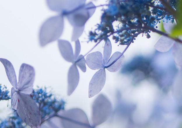 アンニュイな紫陽花