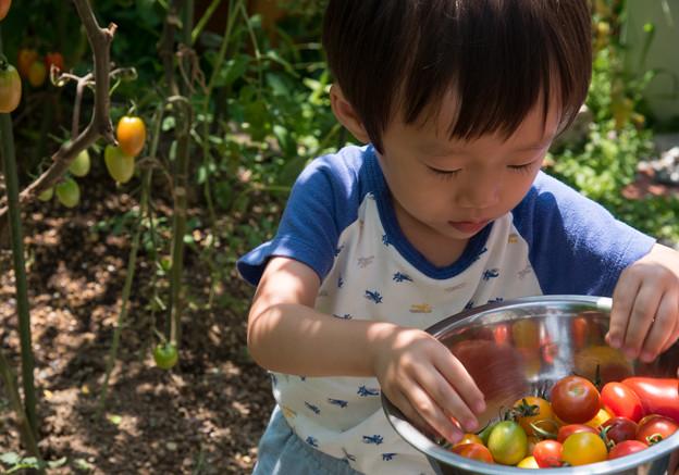 トマト摘み1