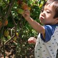 Photos: トマト摘み2