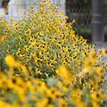 Photos: 逞しく咲く