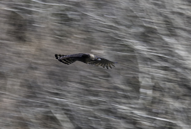 クマタカ飛翔流し1