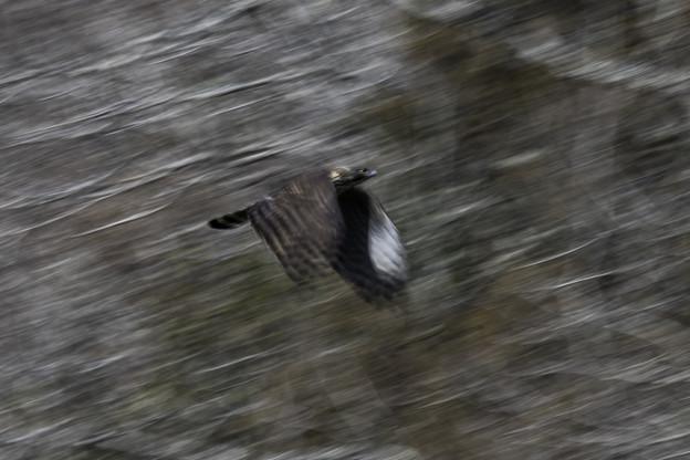 クマタカ飛翔流し2