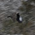 写真: クマタカ飛翔流し2