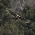 写真: クマタカ正面からの飛翔
