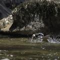 ヤマセミ雌成鳥の激流魚キャッチ