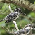 写真: ヤマセミ幼鳥