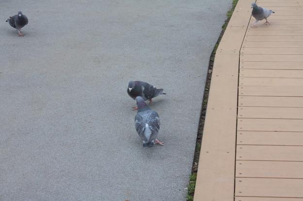 千波湖の鳩