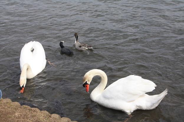 千波湖の白鳥と鴨