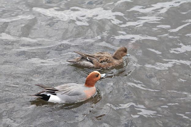 千波湖の鴨