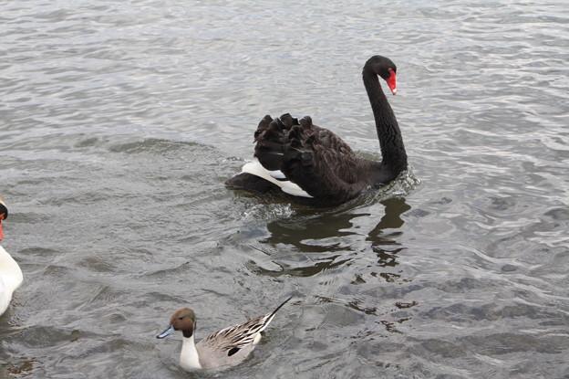 千波湖の鴨と黒鳥