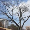 写真: 桜の蕾 20180315_04