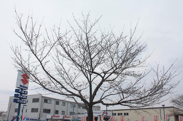 桜の蕾 20180319_02