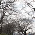 開花前の桜並木の光景 20180319_03