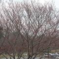 桜の蕾 20180319_10