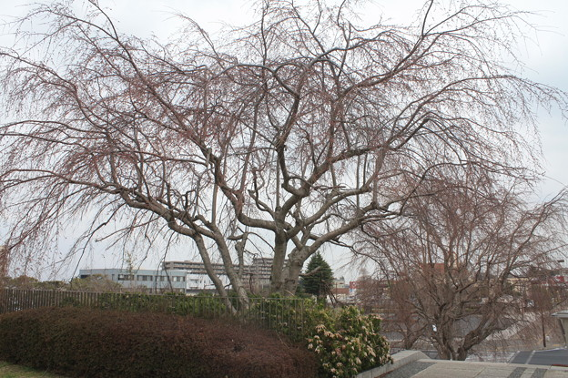 開花前の垂れ桜 20180319_01