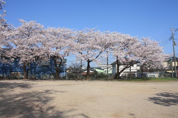 友部駅前児童公園の桜 20180331_04