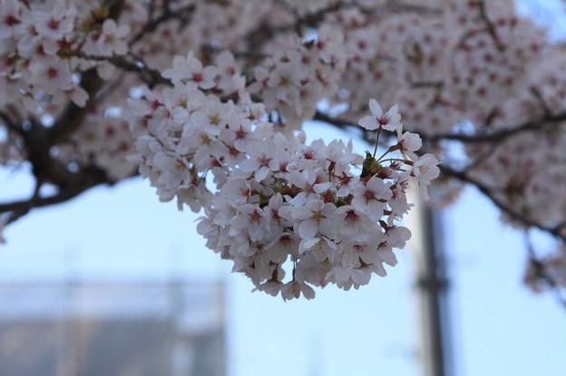 友部駅前児童公園の桜 20180331_16