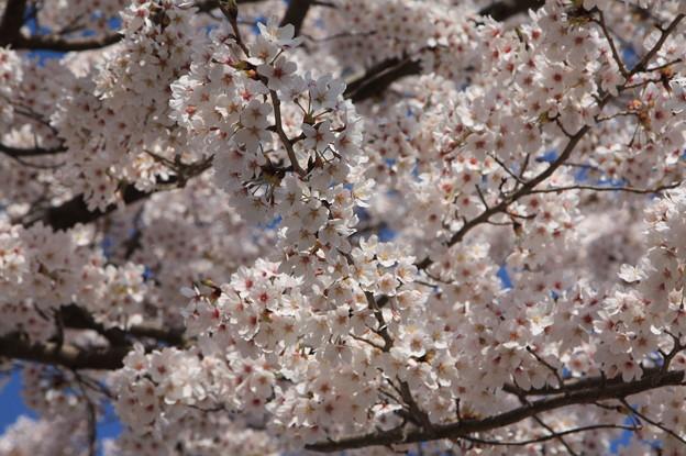 友部駅前児童公園の桜 20180331_19