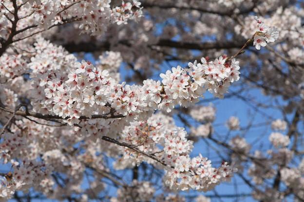 友部駅前児童公園の桜 20180331_25
