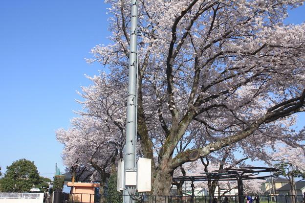 友部駅前児童公園の桜 20180331_30